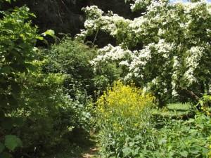 Japanse kornoelje in bloei