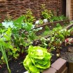 Oogst van eenjarige groenten
