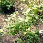 Thaise basilicum