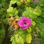 Rozenbottel (rosa rugosa)