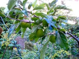 appelboom gilde